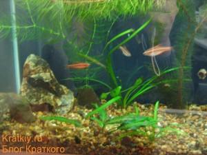 Фото аквариума на работе от 13.10.2009 - Вишневые барбусы