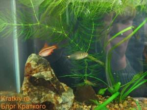 Фото аквариума на работе от 13.10.2009 - Вишневый барбус и фонарик